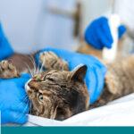 عملية تعقيم القطط الاناث